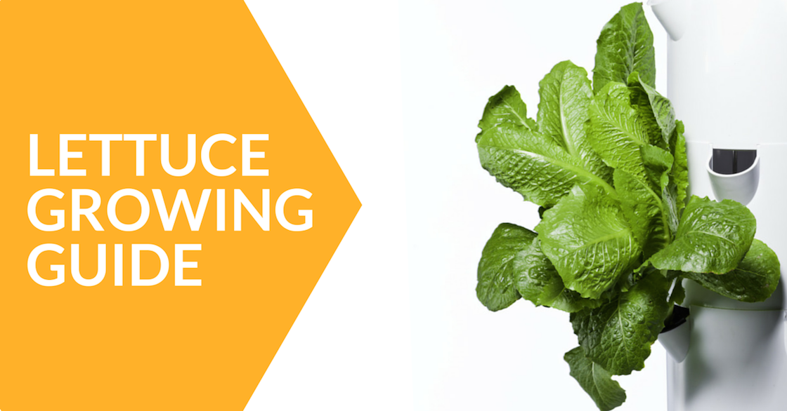 lettuce growing guide